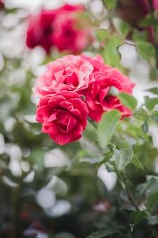 Rosa rose in voller blüte während des tages