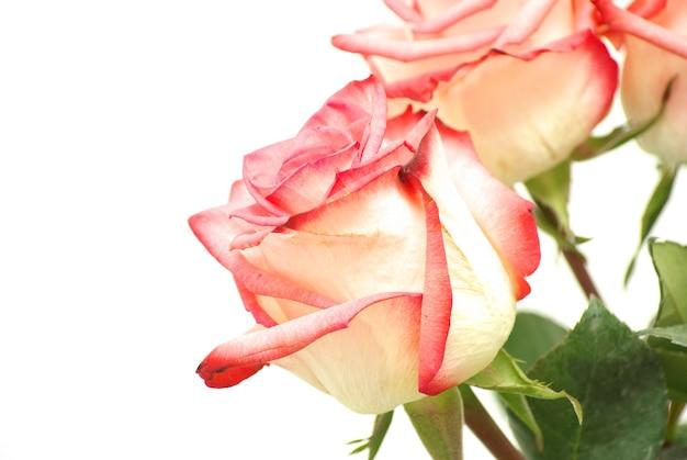 Rosa rose isolierte nahaufnahme