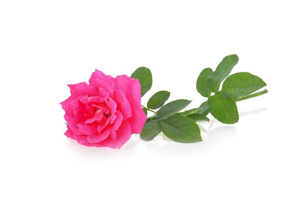Rosa rose lokalisiert auf weißer oberfläche