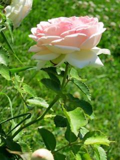 Rosa rose natur zweig