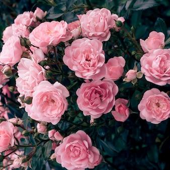 Rosa rosen auf der straße. bloom hochzeit romantische stimmung