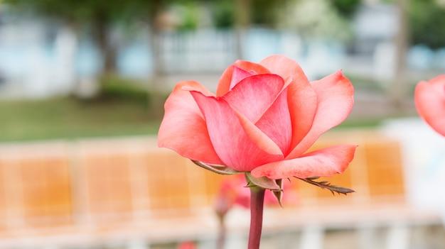 Rosa rosen blühen im garten.