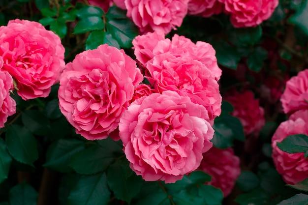 Rosa rosen. hintergrund der blühenden rosen. garten der rosen. natur.
