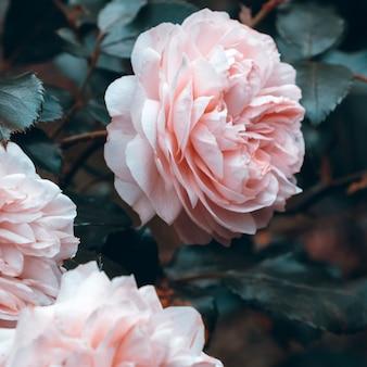 Rosa rosen im park. pflanzenliebhaber-konzept