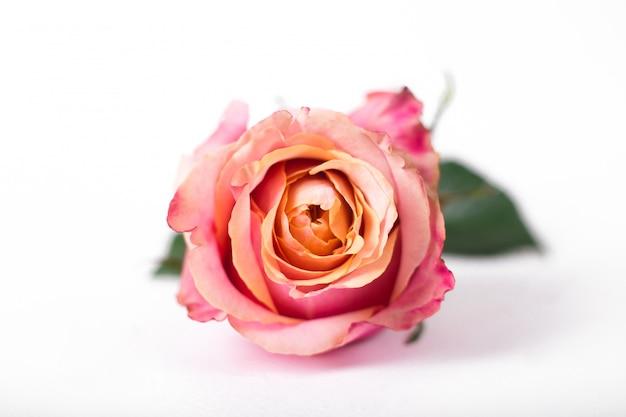 Rosa rosen isoliert