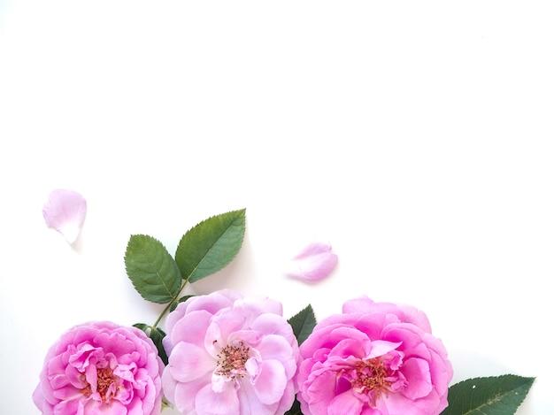 Rosa rosen mit den knospen auf einem weißen hintergrund