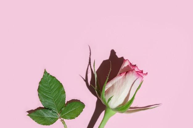 Rosa rosenblume mit hartem schatten auf rosa pastell