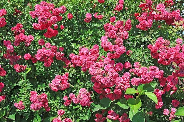 Rosa rosenbüsche mit vielen blüten am hellen sommertag