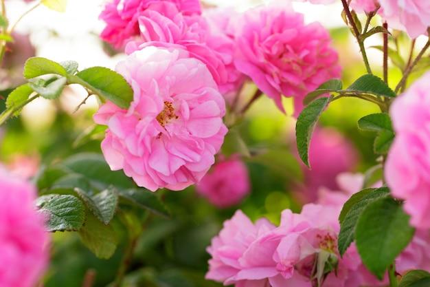 Rosa rosenbuschnahaufnahme auf feld
