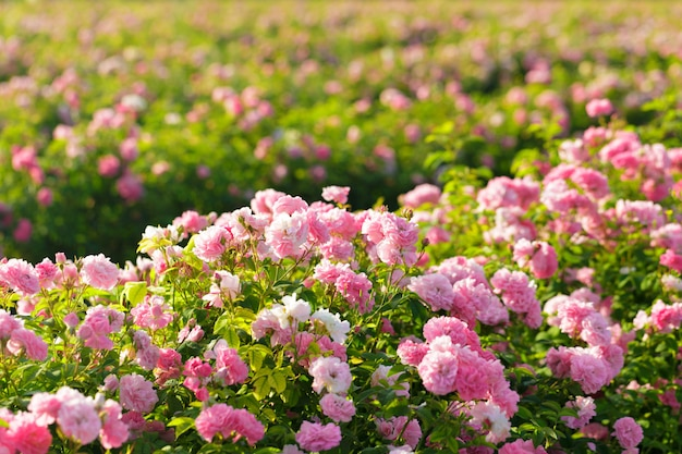 Rosa rosenbuschnahaufnahme auf feldhintergrund