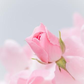 Rosa rosenknospe auf grauem hintergrund perfekt für grußkarten und einladungen zum hochzeitsgeburtstag