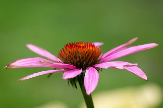 Rosa rudbeckia oder gerbera auf einem natürlichen grünen hintergrund. das poster.