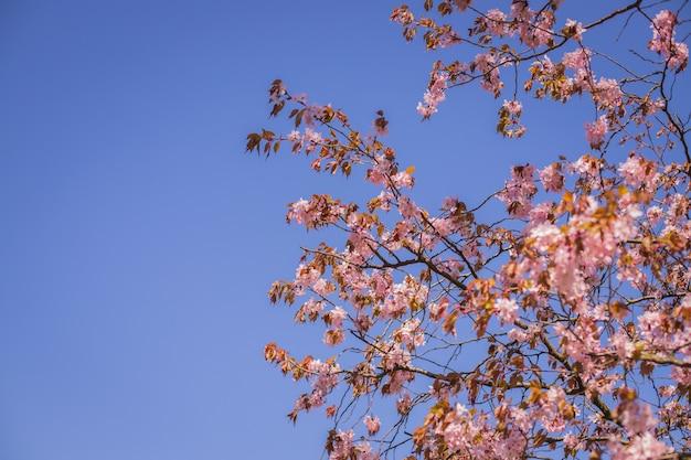 Rosa sakura-blütenzweig unter sakura-baumschatten hinter sonnenlichtstrahl und blauem himmel im hintergrund