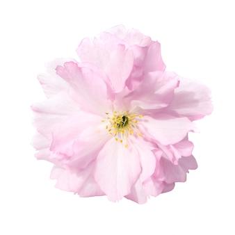 Rosa sakura-blumen isoliert auf weißem hintergrund
