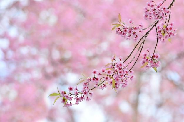 Rosa schöne blumen der wilden himalajakirsche, die ein anderer name sakura von thailand im winter ist