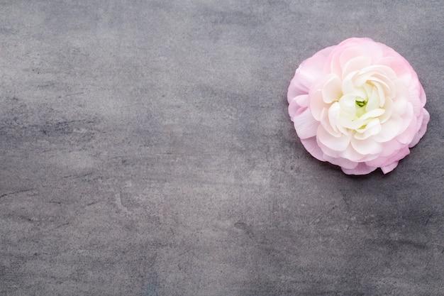 Rosa schöner ranunkel auf grau.