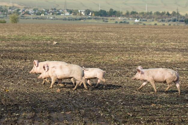 Rosa schweine, schweine auf dem bauernhof, ferkel gehen essen