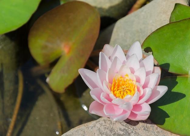 Rosa seerose blüht in einem teich
