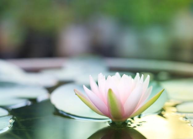 Rosa seerosenblüte gegen morgensonnenlicht