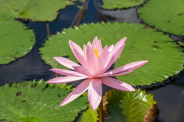 Rosa seerosenblume. lotusblume auf der insel bali, indonesien. nahaufnahme, makro, ansicht von oben