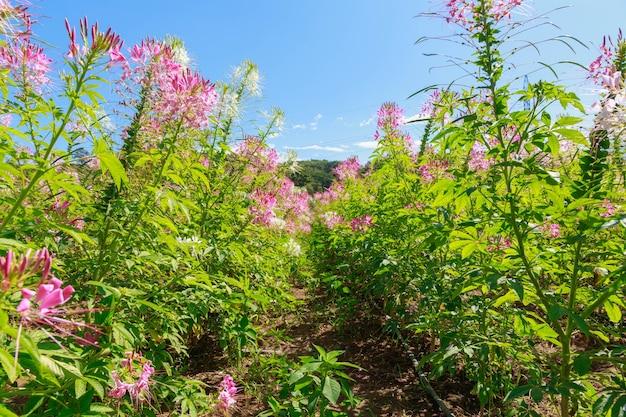 Rosa spinnenblume oder cleome hassleriana im blumengarten