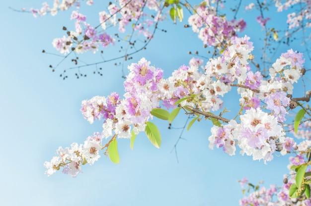 Rosa trompetenbaum der schönheit blüht auf hintergrund des blauen himmels