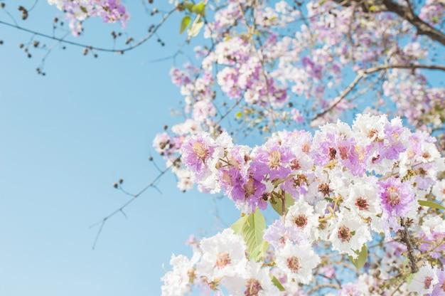 Rosa trompetenbaum mit schönheit blüht auf blauem himmel