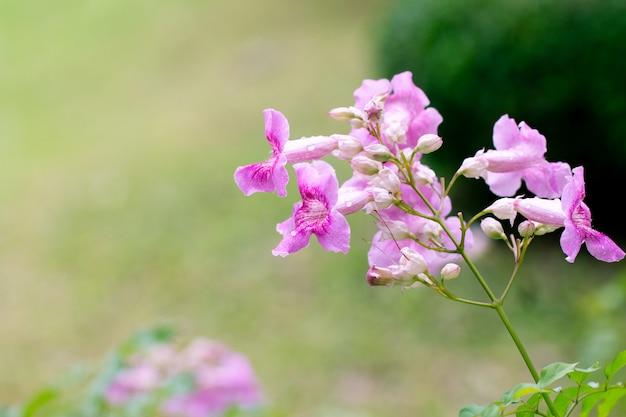Rosa trompetenrebe oder phodania. rosa blume im garten