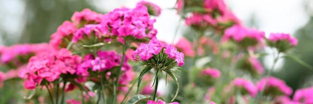 Rosa türkische nelkenbuschblume in voller blüte auf einem hintergrund von verschwommenen grünen blättern, gras
