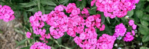 Rosa türkische nelkenbuschblume in voller blüte auf einem hintergrund von verschwommenen grünen blättern und gras im blumengarten an einem sommertag. ansicht von oben. banner