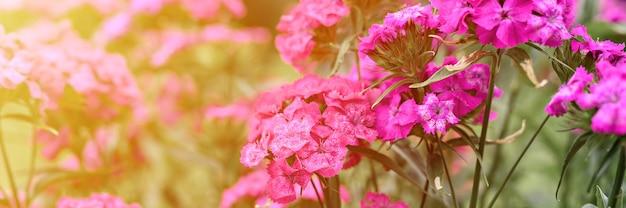 Rosa türkische nelkenbuschblume in voller blüte auf einem hintergrund von verschwommenen grünen blättern und gras im blumengarten an einem sommertag. banner. aufflackern