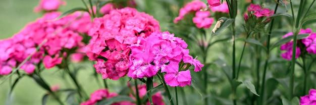 Rosa türkische nelkenbuschblume in voller blüte auf einem hintergrund von verschwommenen grünen blättern und gras im blumengarten an einem sommertag. banner