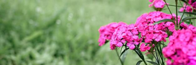 Rosa türkische nelkenbuschblume in voller blüte auf einem hintergrund von verschwommenen grünen blättern und gras im blumengarten an einem sommertag. platz für text. banner