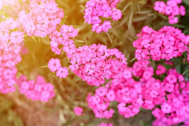 Rosa türkische nelkenbuschblume in voller blüte auf einem hintergrund von verschwommenen grünen blättern und gras