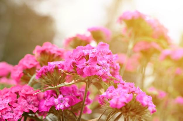 Rosa türkische nelkenbuschblume in voller blüte auf einer oberfläche aus verschwommenen grünen blättern