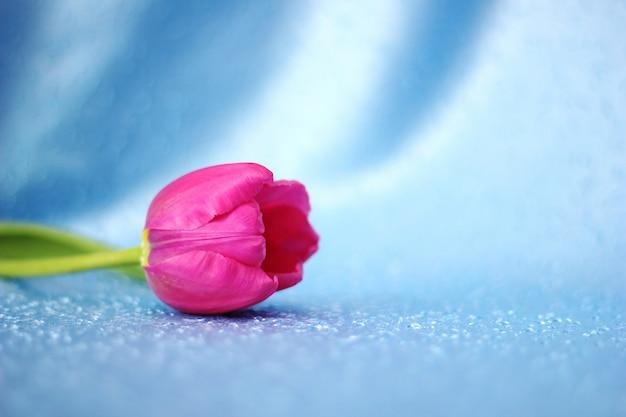Rosa tulpe auf blauem hintergrund.
