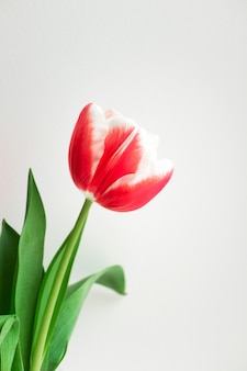Rosa tulpe. minimalistische postkarte zum geburtstag, zum valentinstag, zum muttertag, zur hochzeit oder zu anderen feiertagen. schöne blumenblüte, vertikal