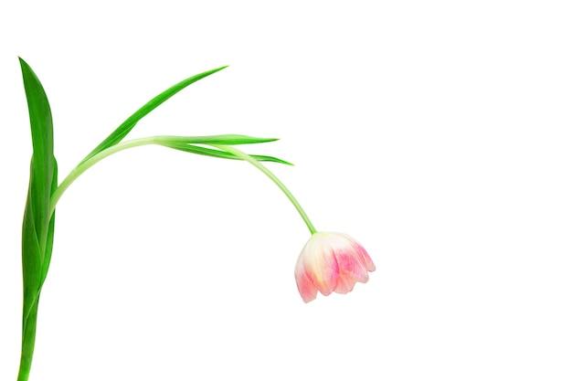 Rosa tulpe mit grünen blättern auf weißem hintergrund