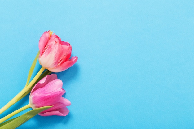 Rosa tulpen auf blauem papierhintergrund
