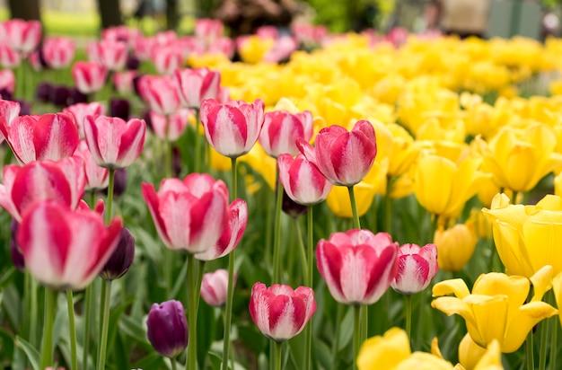 Rosa tulpen auf gelbem hintergrund parken im frühjahr auf elagin-insel, st. petersburg.