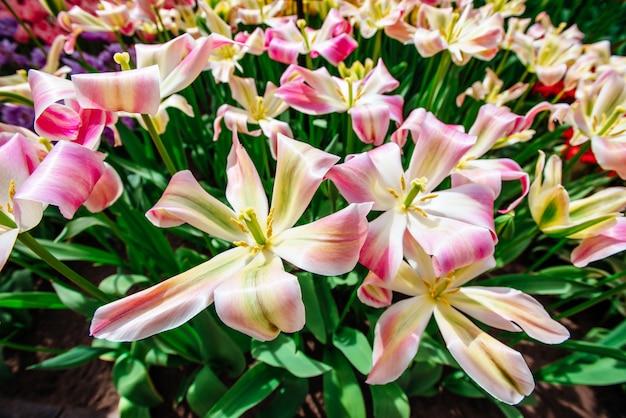 Rosa tulpen der gruppe gegen den himmel. frühlingslandschaft.