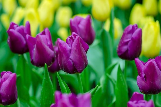 Rosa tulpen mit unscharfem musterhintergrund