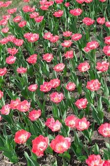 Rosa tulpen vertikal