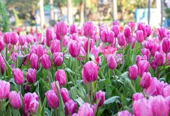 Rosa Tulpenblumenfelder, die im Garten blühen