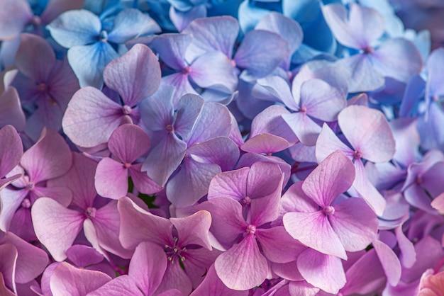 Rosa und blaue hortensienblüten