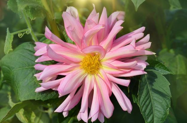 Rosa und gelbe spinnendahlienblume