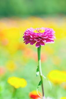 Rosa und lila chrysanthemen.