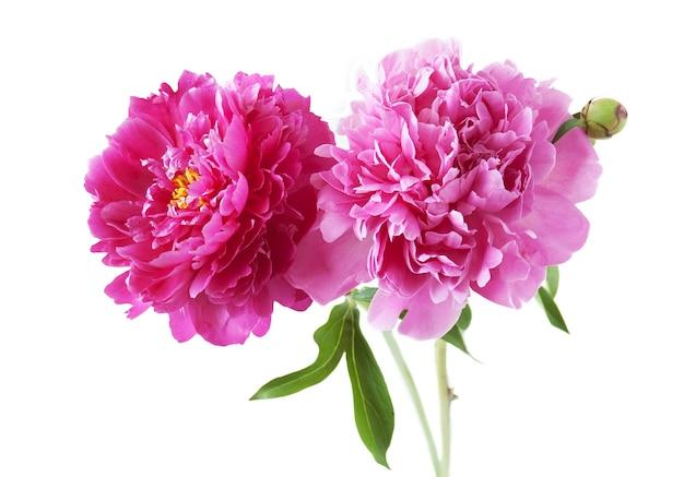 Rosa und rote pfingstrosenblumen auf weiß