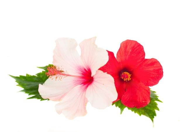 Rosa und roter hibiskus flowesr isoliert