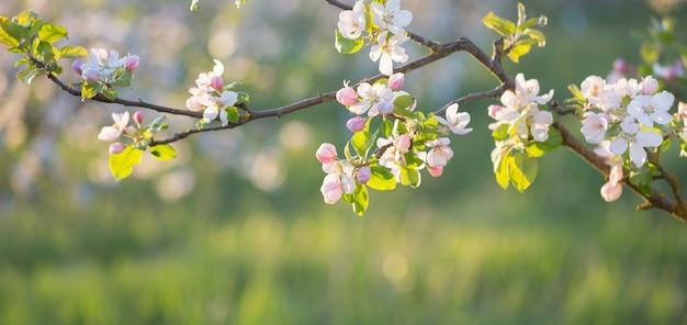 Rosa und weiße apfelblumen im sonnenlicht im freien